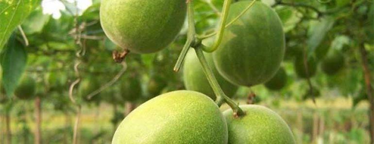 frutto-del-monaco